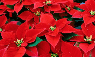 Rocky River High School PTA Poinsettia Holiday Fundraiser