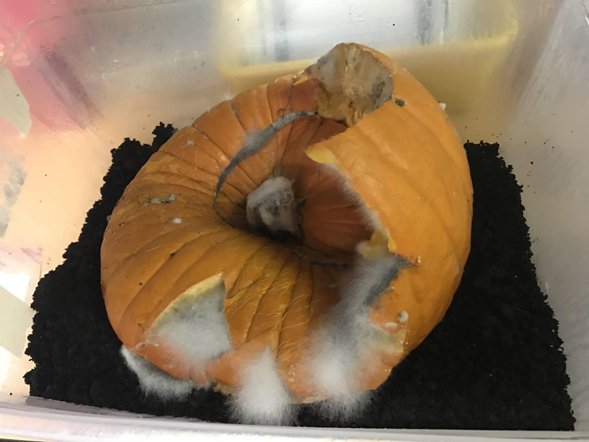 Day 6 of Pumpkin Jack-Top View