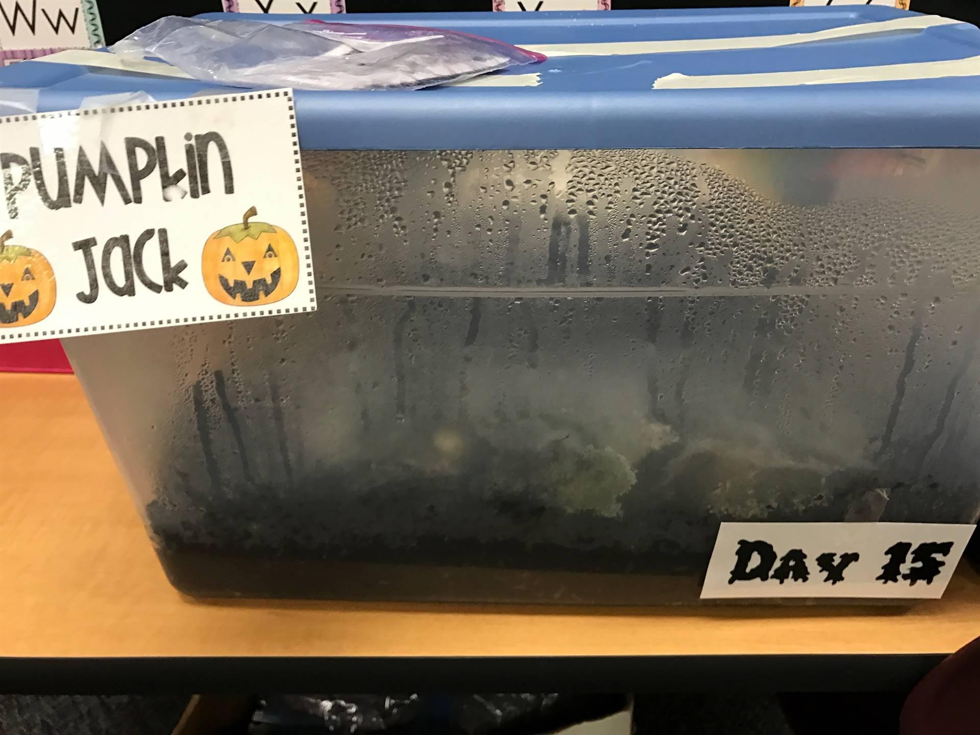 Day 15 Pumpkin Jack