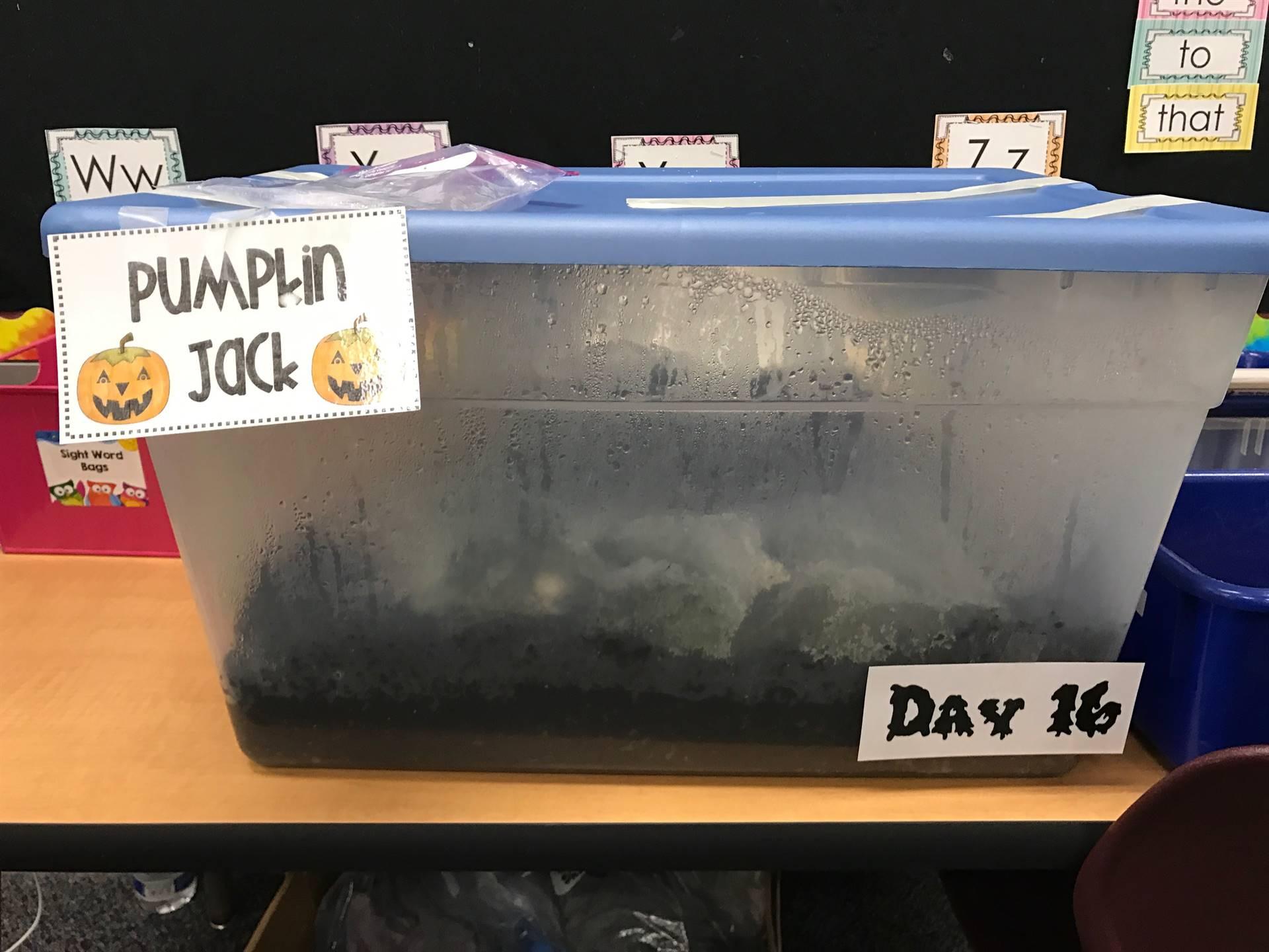 Day 16 Pumpkin Jack